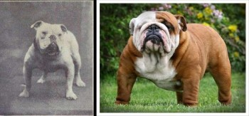 Before and after 100 years of selective breeding